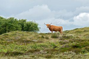 Schotse hooglander tussen Heide