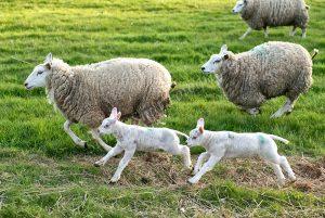 Rennende schapen met lammetjes