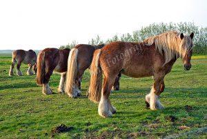 Paarden in formatie