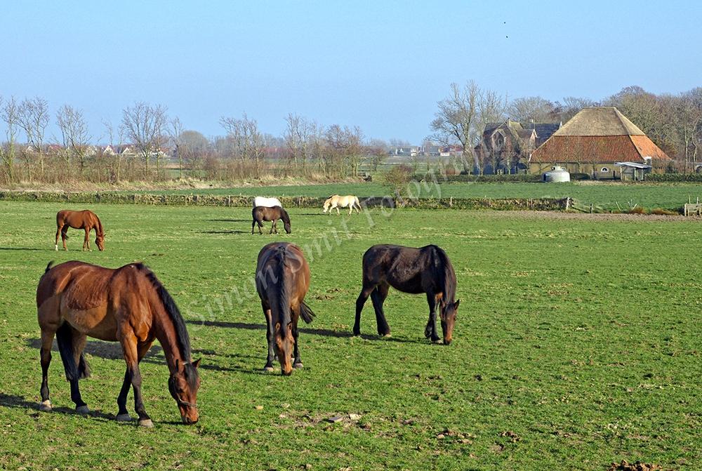 Paarden op de Hoge Berg , Texel
