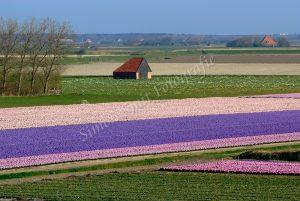 Kleurrijk Hyacintenveld, Den Hoorn
