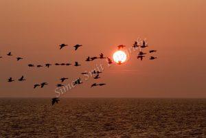 Ganzen met opkomende zon